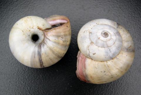 Xerosecta giustii Manganelli & Favilli, 1996