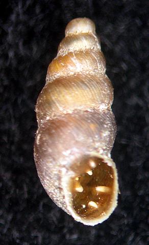 Rupestrella philippii (Cantraine, 1840) ?