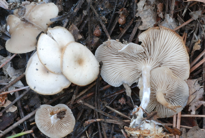 Clitocybe metachroa