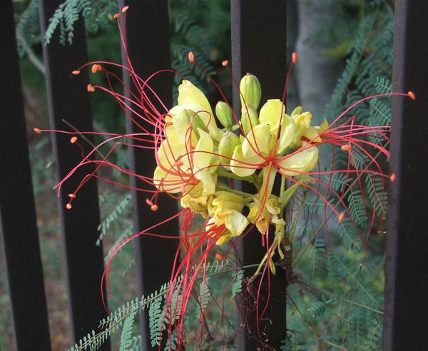 Poinciana gilliesii (pianta coltivata)