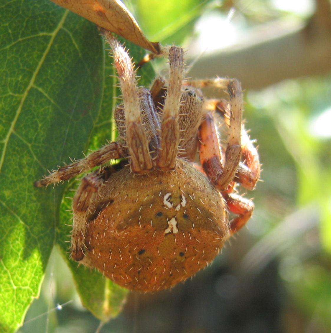 Araneus sp.
