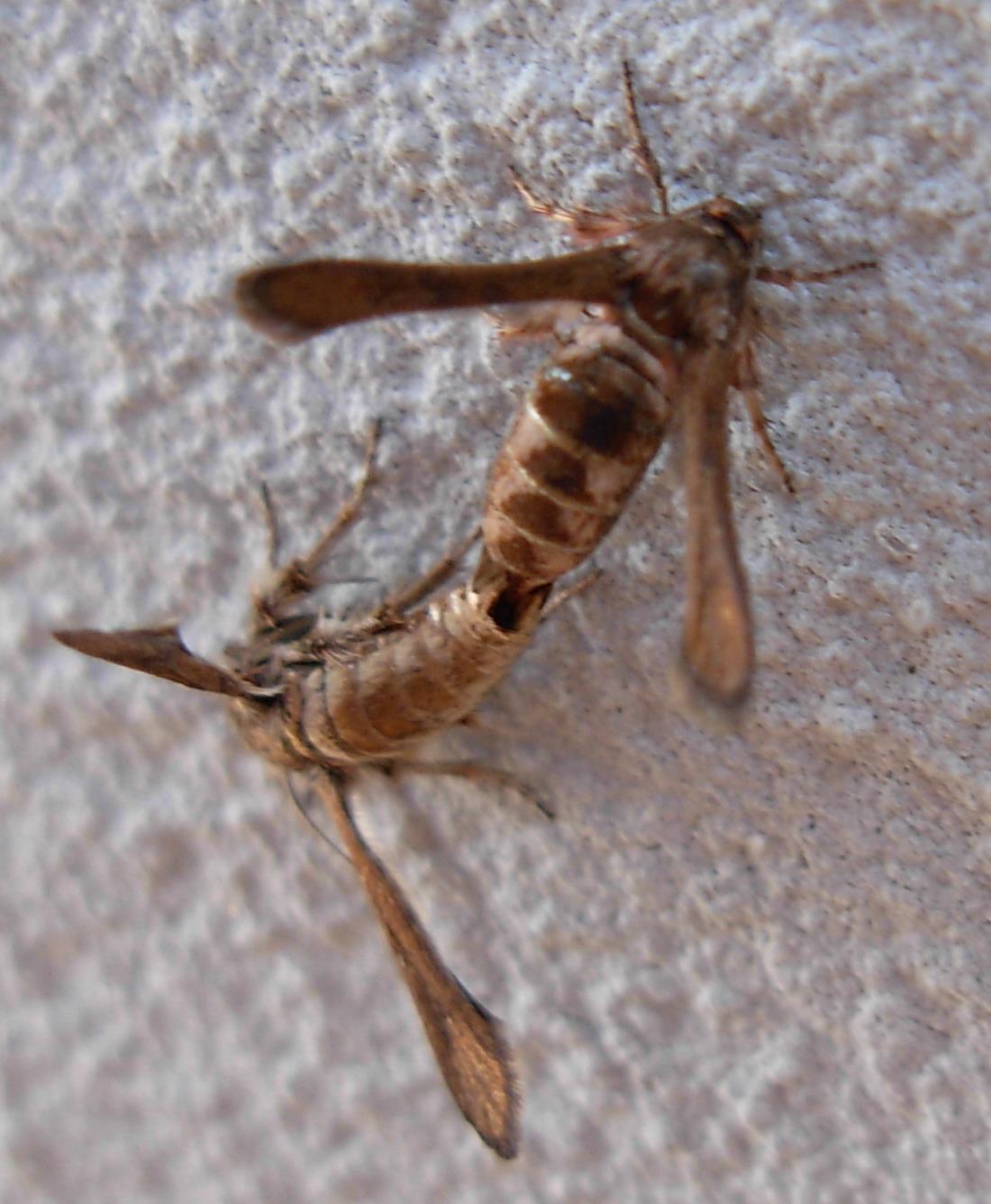 Microsphecia tineiformis (Sesiidae)