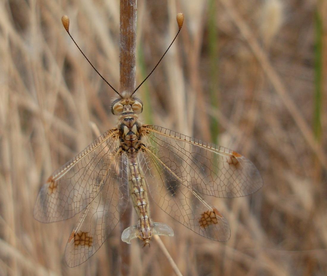 Ascalaphidae: Deleproctophylla australis