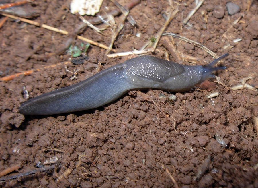 Milacidae:identificazione