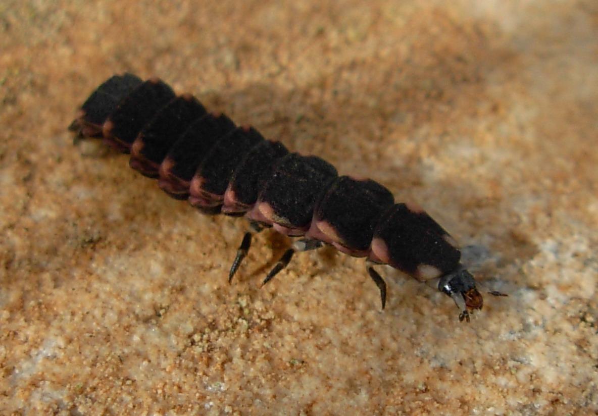 Larva di Lampyris sp.