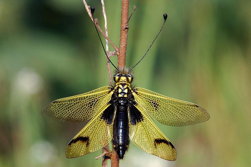 Libelluloides longicornis