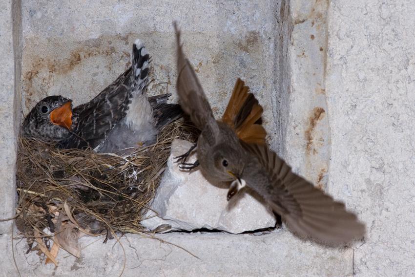 Cuculo nel nido alimentato da codirosso spazzacamino