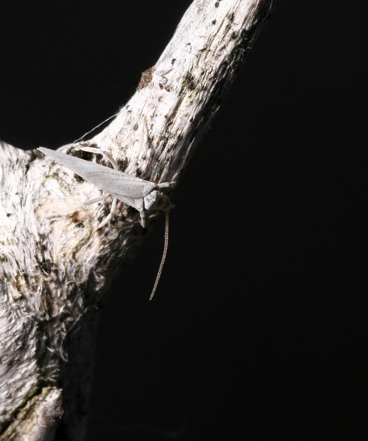Coniopterygidae - Conwentzia sp.