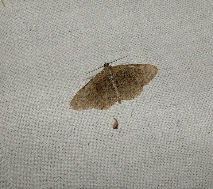 Farfalle al lume