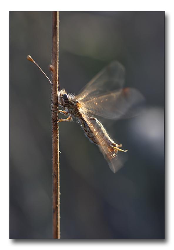Deleproctophylla australis (Planipennia, Ascalaphidae)