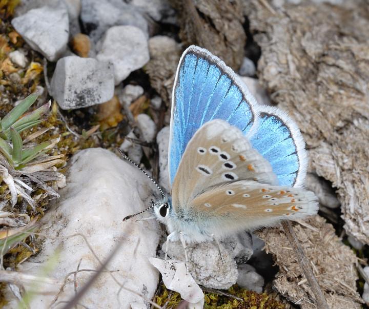 Farfalle a Campo Imperatore