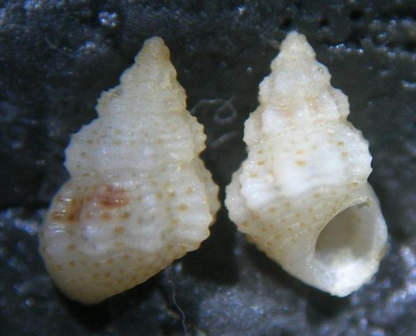 Rissoidae nel Mediterraneo: Genere Alvania