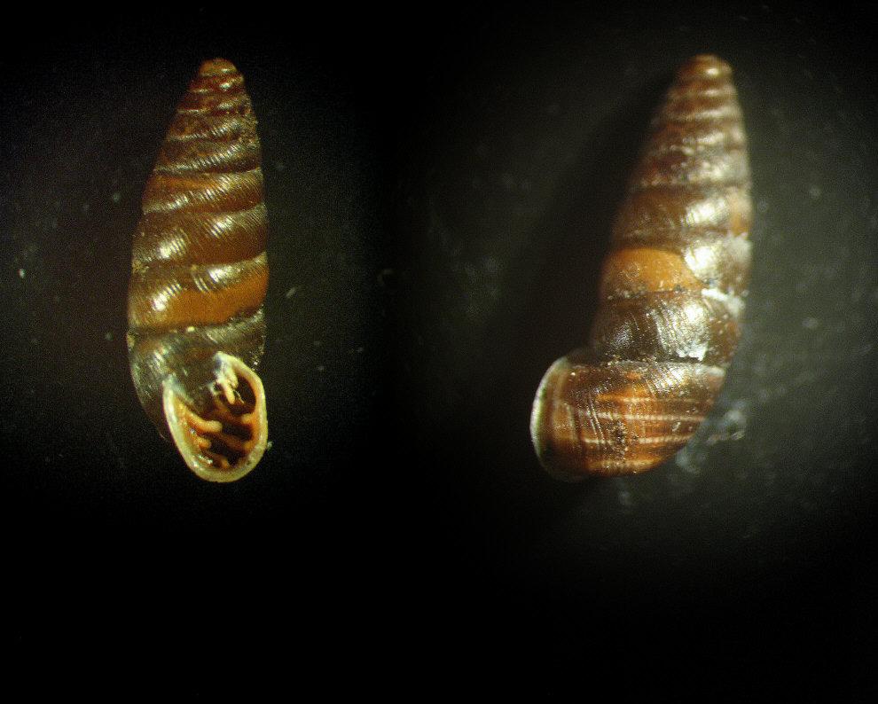 Abida secale secale (Draparnaud, 1801)