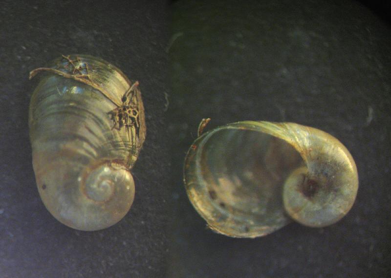 Daudebardia (Daudebardia) rufa maravignae (Pirajno, 1840)