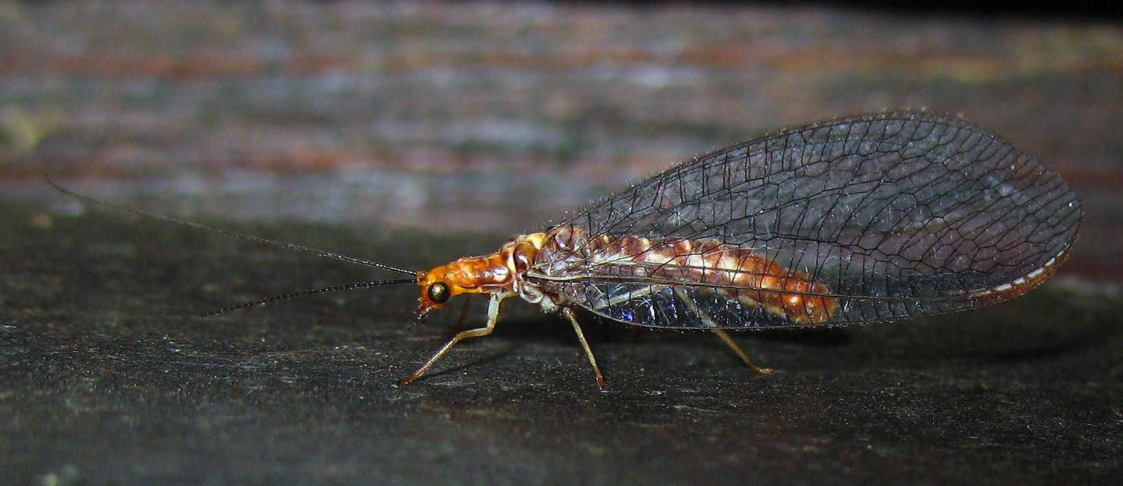Nothochrysa capitata