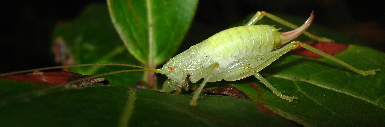 Cyrtaspis scutata (Meconematidae) sull''Isola d''Elba