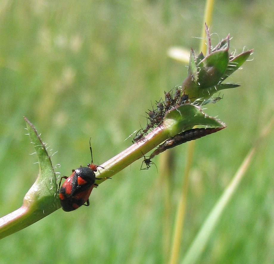 Deraecoris shach, afidi e larva di emerobide