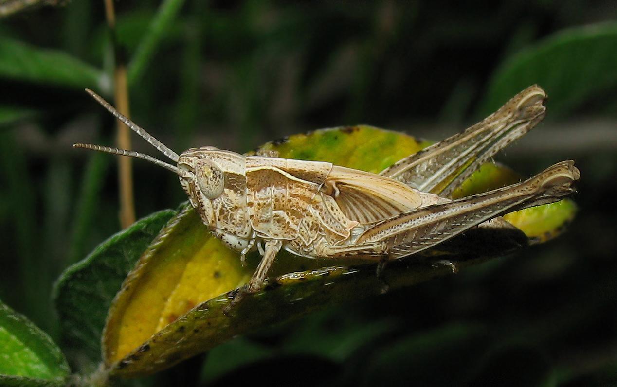 Chorthippus (Glyptobothrus) sp.