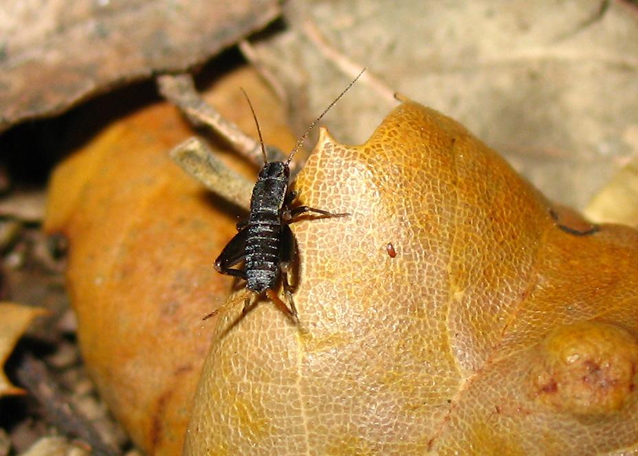 Mogoplistes brunneus (Mogoplistidae) all''Isola d''Elba