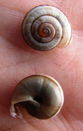 Chilostoma ambrosi