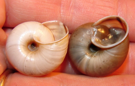Chilostoma cingulatum della Val d''Ega (BZ)