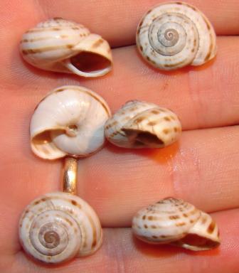 Chilostoma cingulata nicatis - Gole di Fara S. Martino