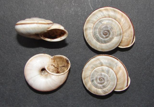 Chilostoma cingulatum Barcis (PN)