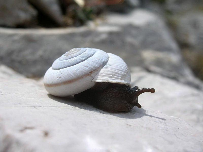 Chilostoma (Chilostoma) cingulatum hermesianum (Pini, 1874)