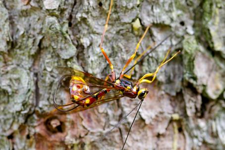Ichneumonidae: Megarhyssa  cfr. vagatoria