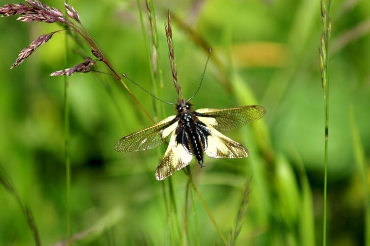 Libelloides coccajus (Planipennia, Ascalaphidae)