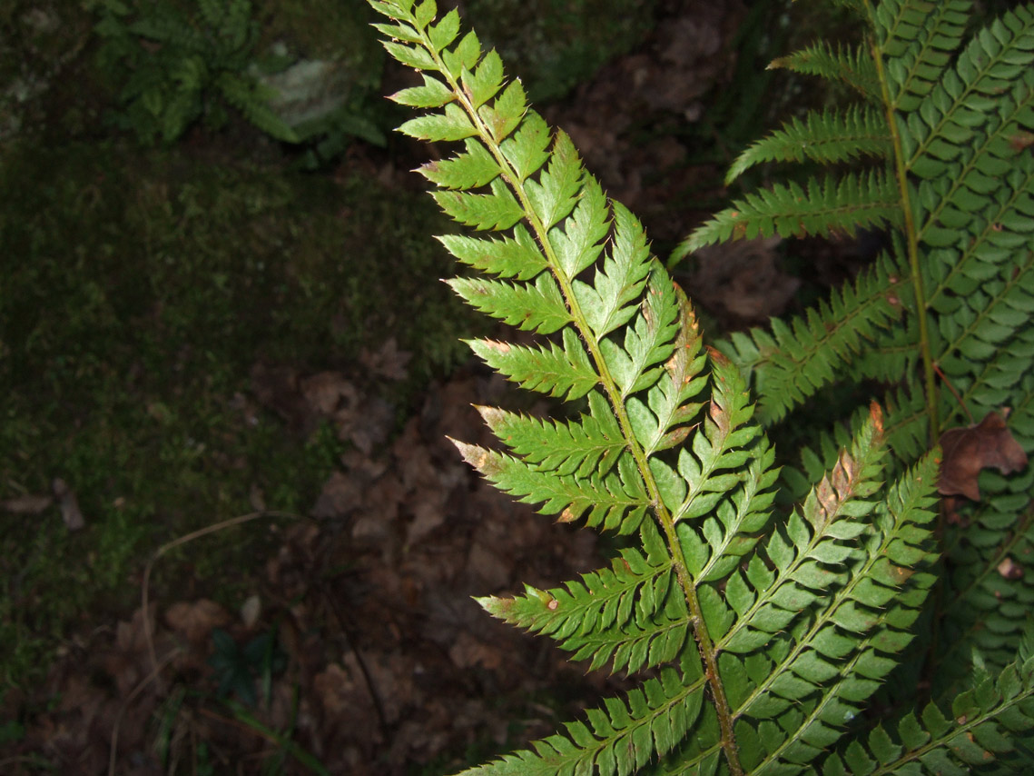 Polystichum setiferum forum natura mediterraneo forum - La felce pianta ...
