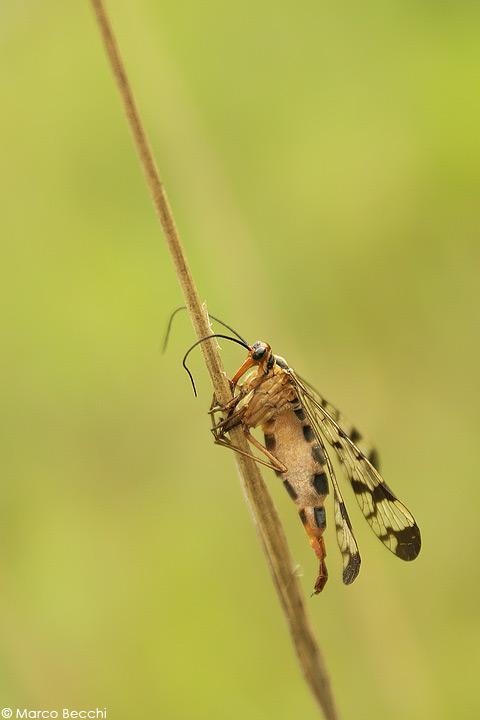 Panorpa sp. vittima di un fungo parassita