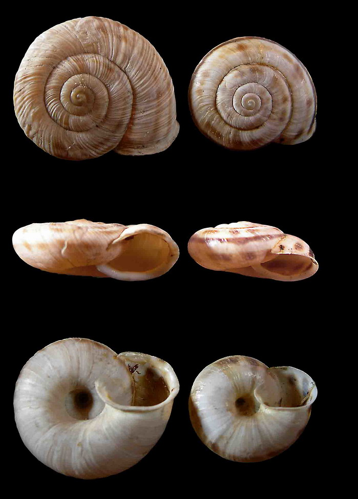 Chilostoma (Kosicia) intermedium (Fèrussac, 1821)