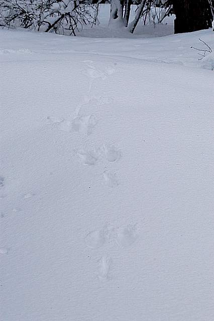 Lepre bianca segni di presenza