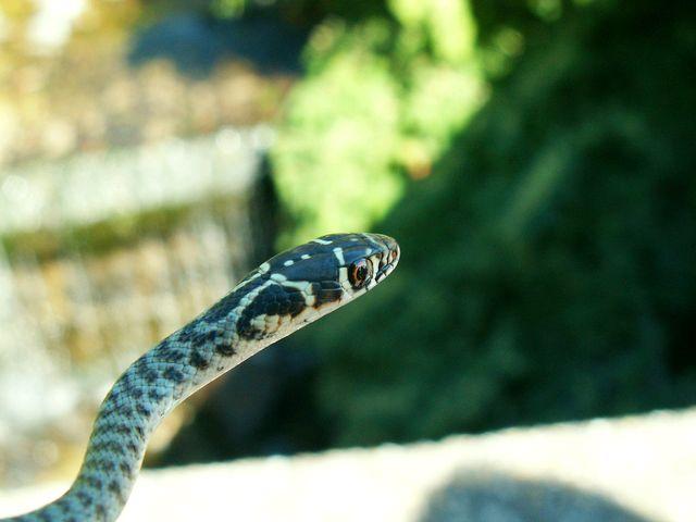 Identificazione serpente forum natura mediterraneo for Biscia nera