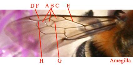 Nervatura alare degli imenotteri Apidae.