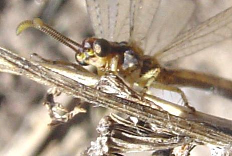 Eccezionale fotografia di Megistopus mirabilis
