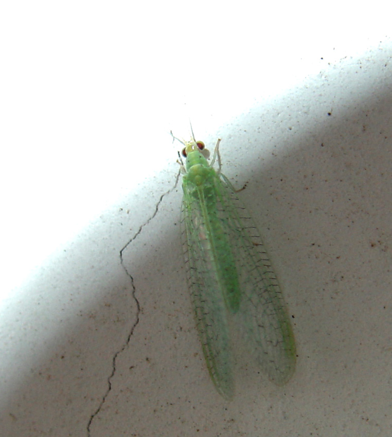 Chrysoperla agilis