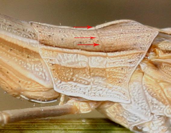 Acrida ungarica mediterranea (solco tipico del pronoto)