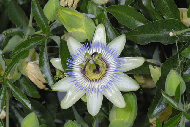 passiflora caerulea passiflora pianta coltivata