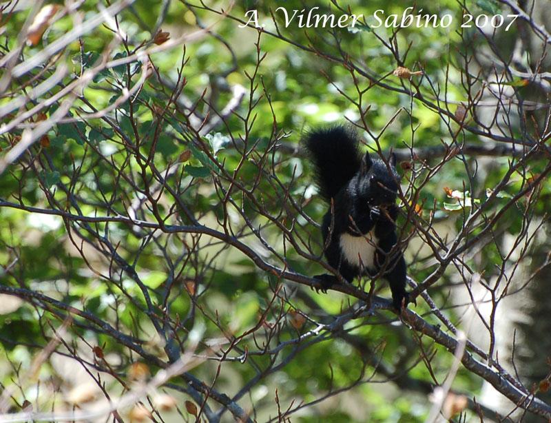 Sciurus vulgaris. Pollino