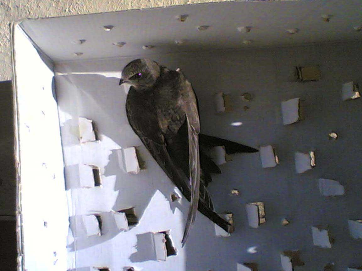 Nido Di Tortore Sul Balcone come aiutare un uccellino in difficoltà