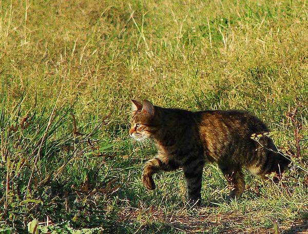 Gatto domestico o raro gatto selvatico forum natura - Gatto solo in casa per 15 giorni ...