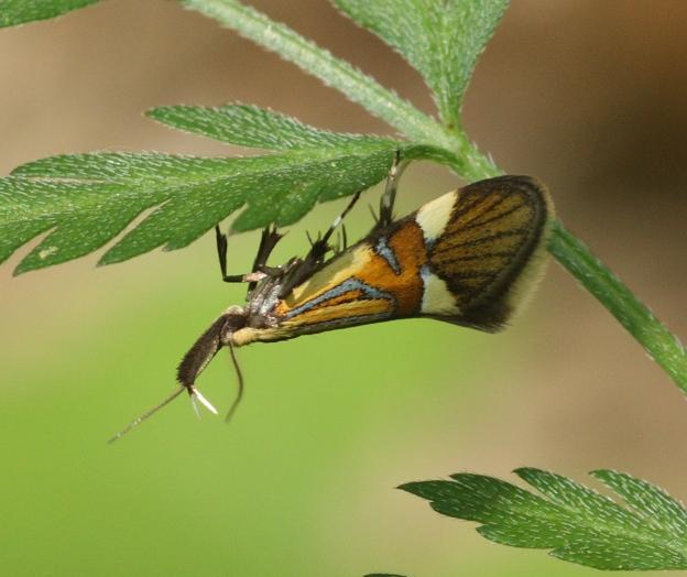 Id piccolo lepidottero : Alabonia geoffrella