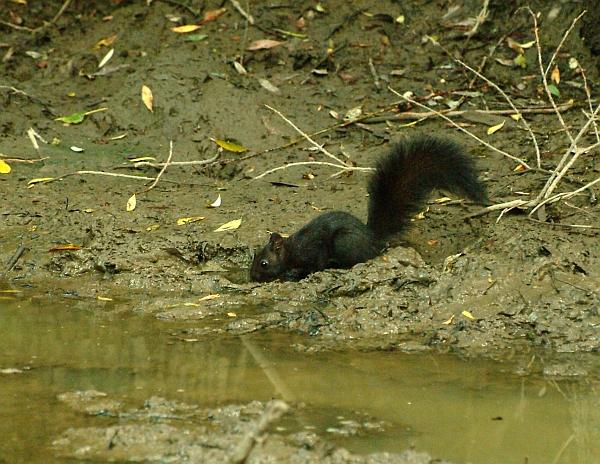 Scoiattolo nero meridionale assetato