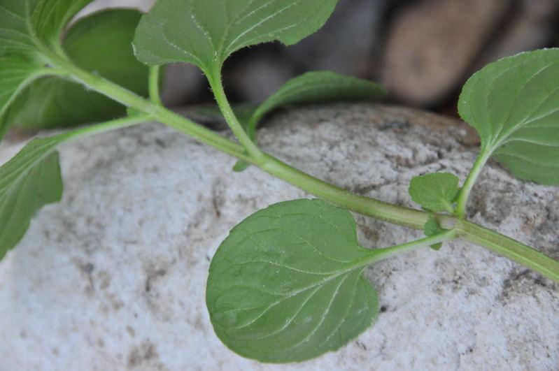 Pianta aromatica - Mentha aquatica , Forum Natura ...