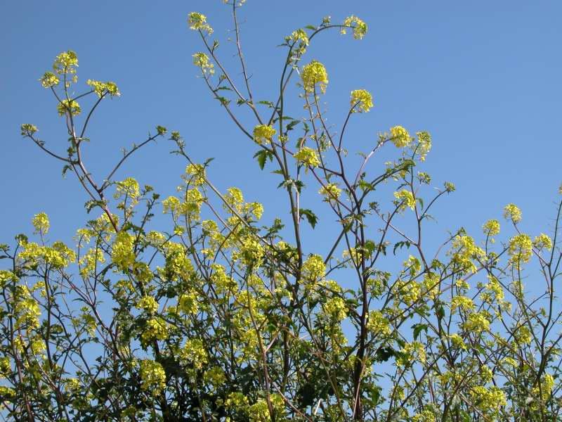 arbusto con fiori gialli forum natura mediterraneo