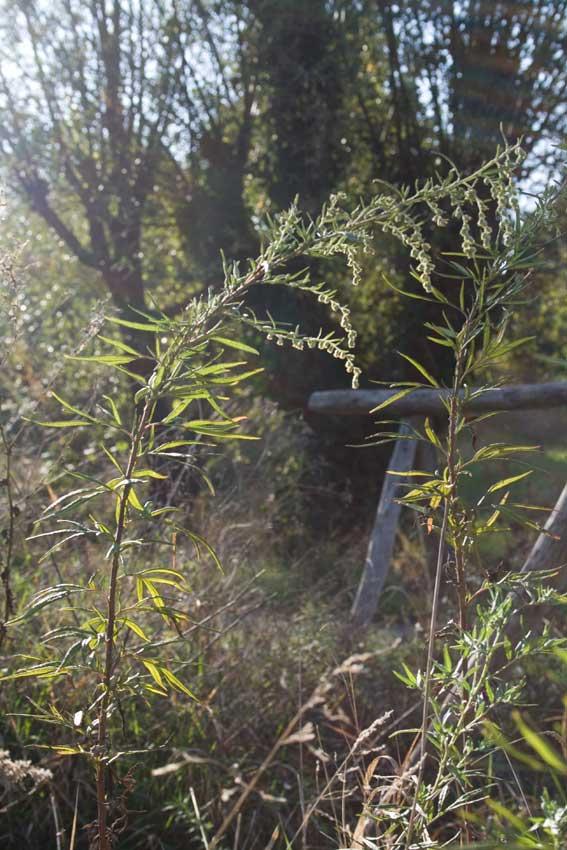 Artemisia verlotiorum / Artemisia dei fratelli Verlot