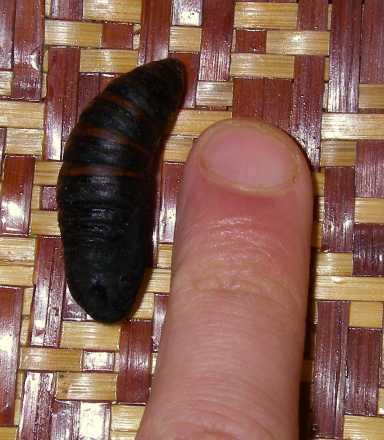 Larva e pupa di Macrothylacia rubi