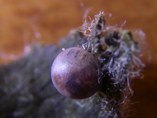 Uovo di podalirio